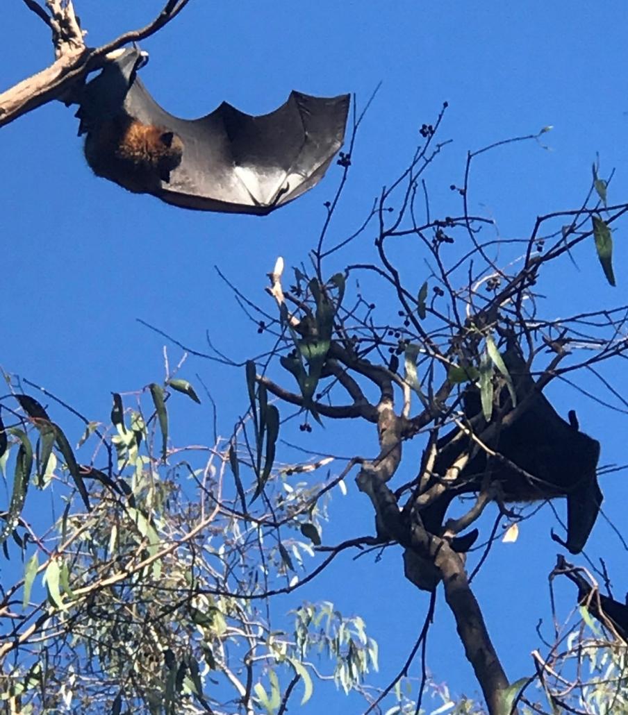 CPS Flying Fox Bats
