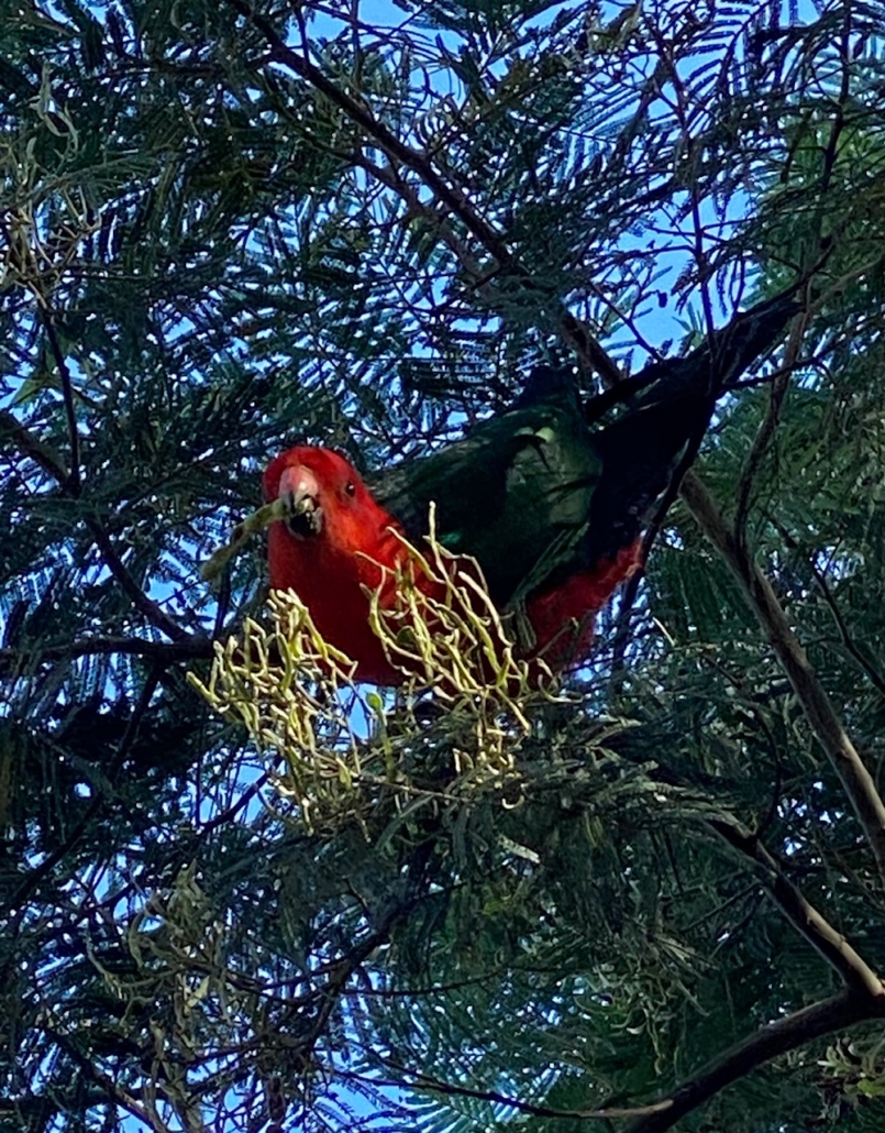 CPS King Parrot
