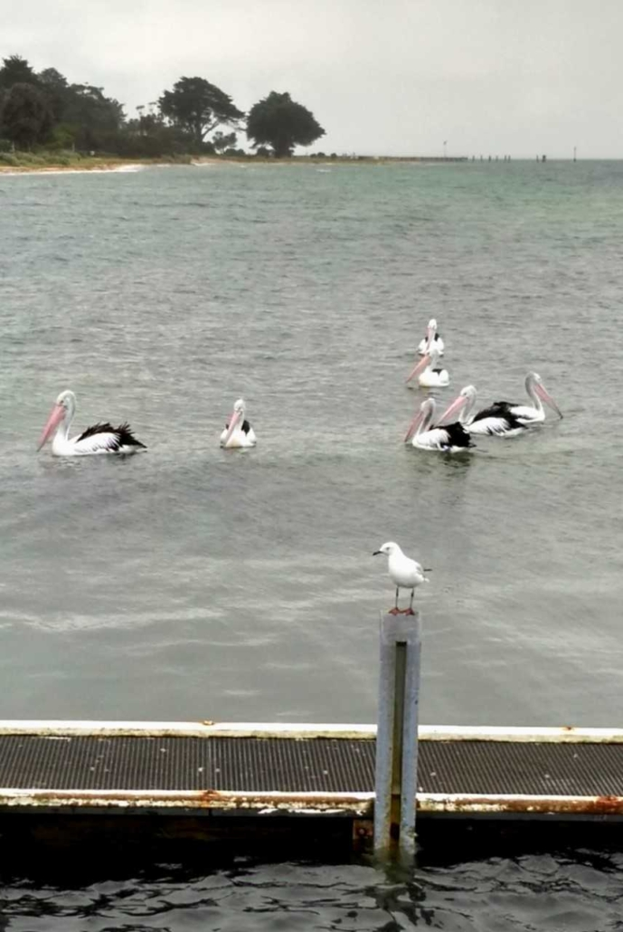 CPS Pelicans