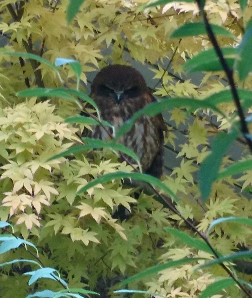 CPS Southern Boobook Owl